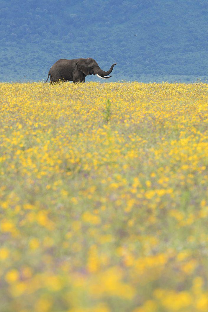 serengeti photographic safari, elephant