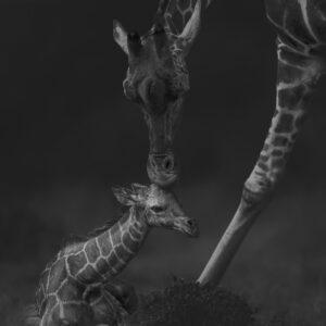 black and white wildlife prints - baby giraffe