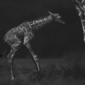 black and white wildlife photographer - Up at Last