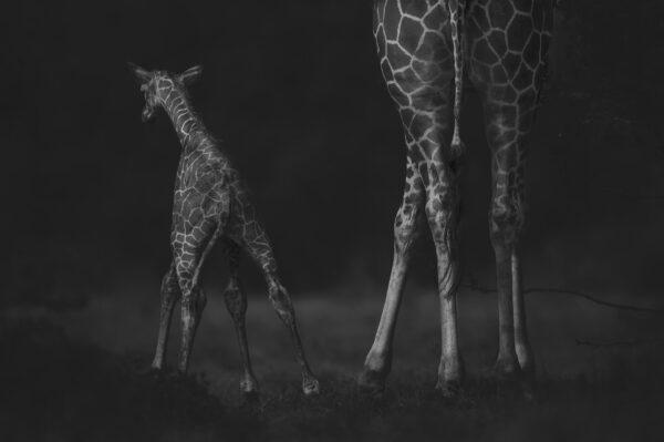famous African wildlife photographers - baby giraffe photograph