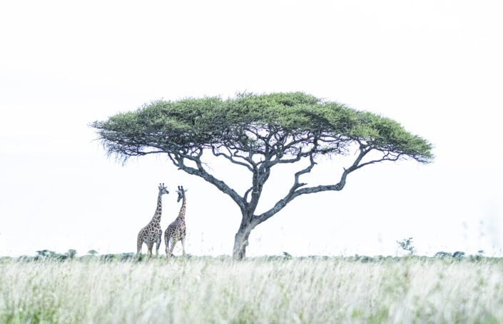 Giraffes Beneath the Acacia (1) - high key wildlife photography