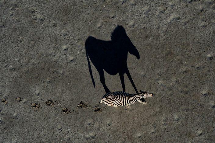 famous african wildlife photographers - Zebra Shadow