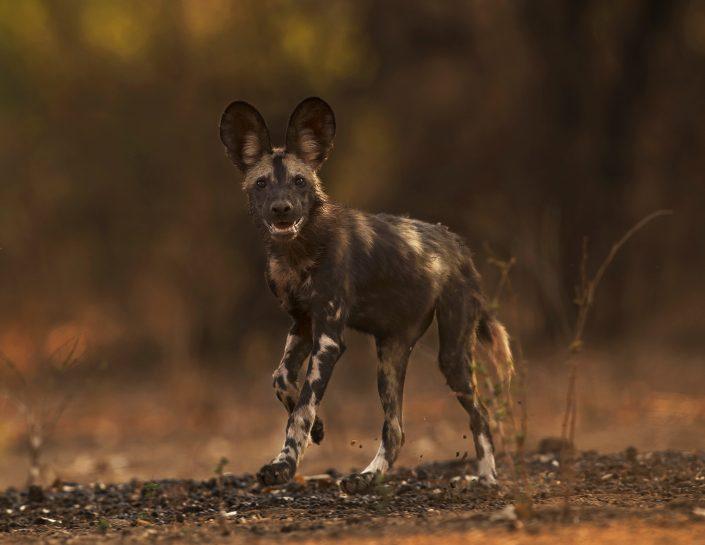 best zimbabwe private photo safari - wild dog running in Mana Pools National Park