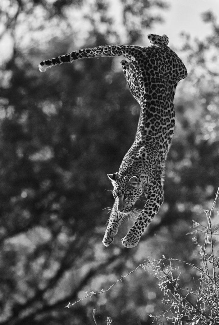 best african photo safari tours - a leopard flies through the air