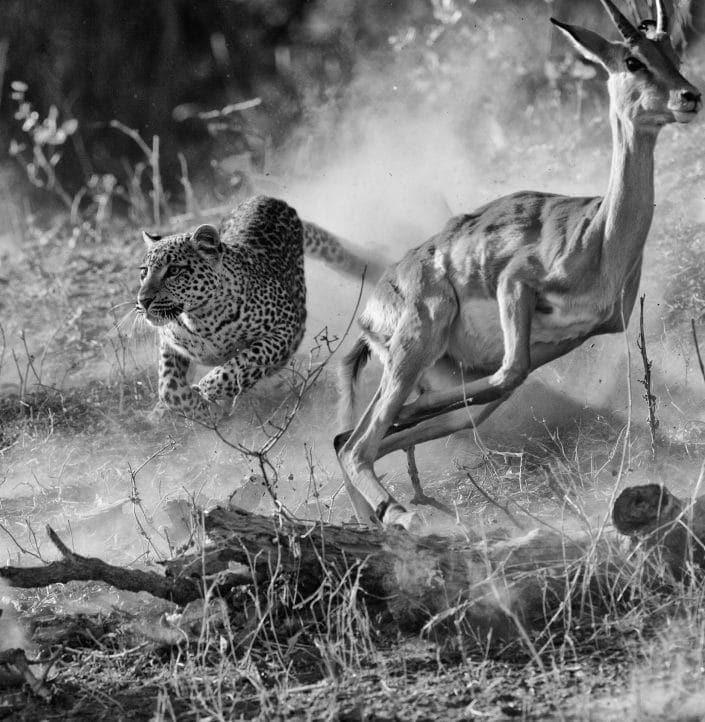 best private Africa photo safari - a leopard chases impala in Botswana's Okavango Delta