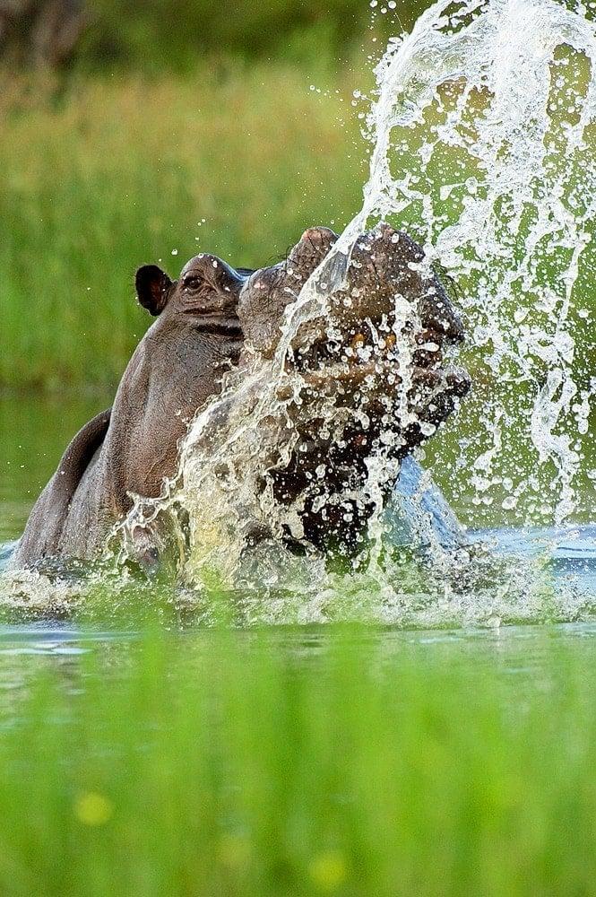 best africa photo safari - a hippo in the Okavango Delta
