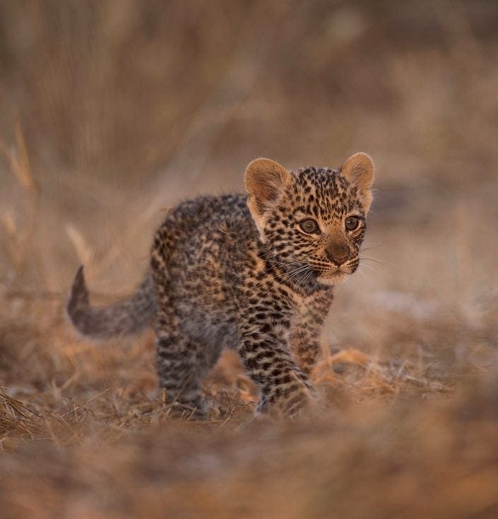 baby leopard on the best South Africa photo safari