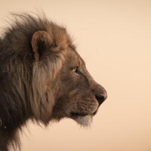 wildlife portrait - The King