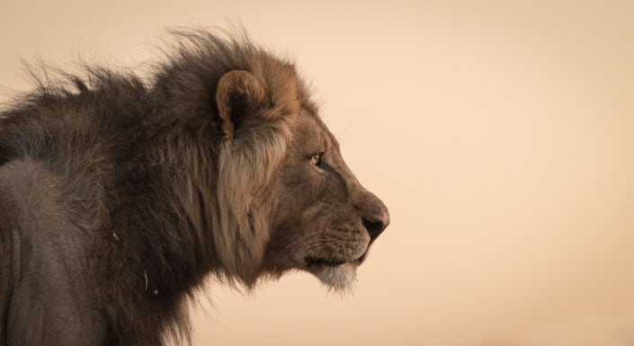 The King - A wildlife portrait by famous African wildlife photographer Greg du Toit.