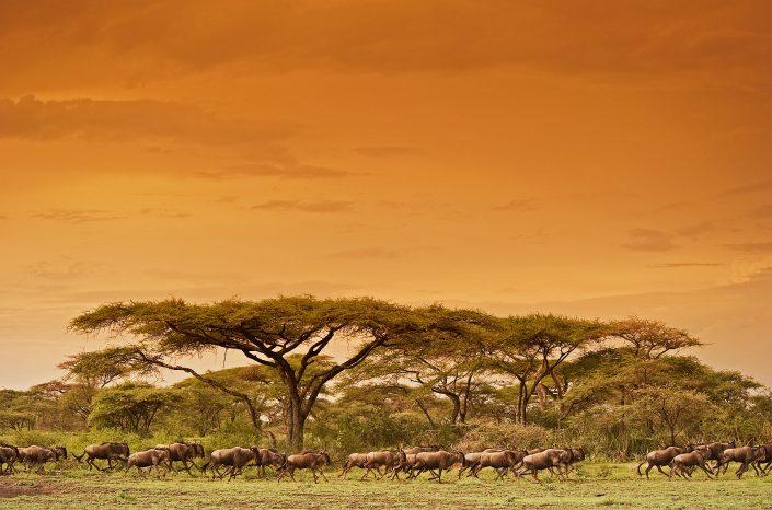 Serengeti Migration - Animal environment photography by African wildlife photographer Greg du Toit.