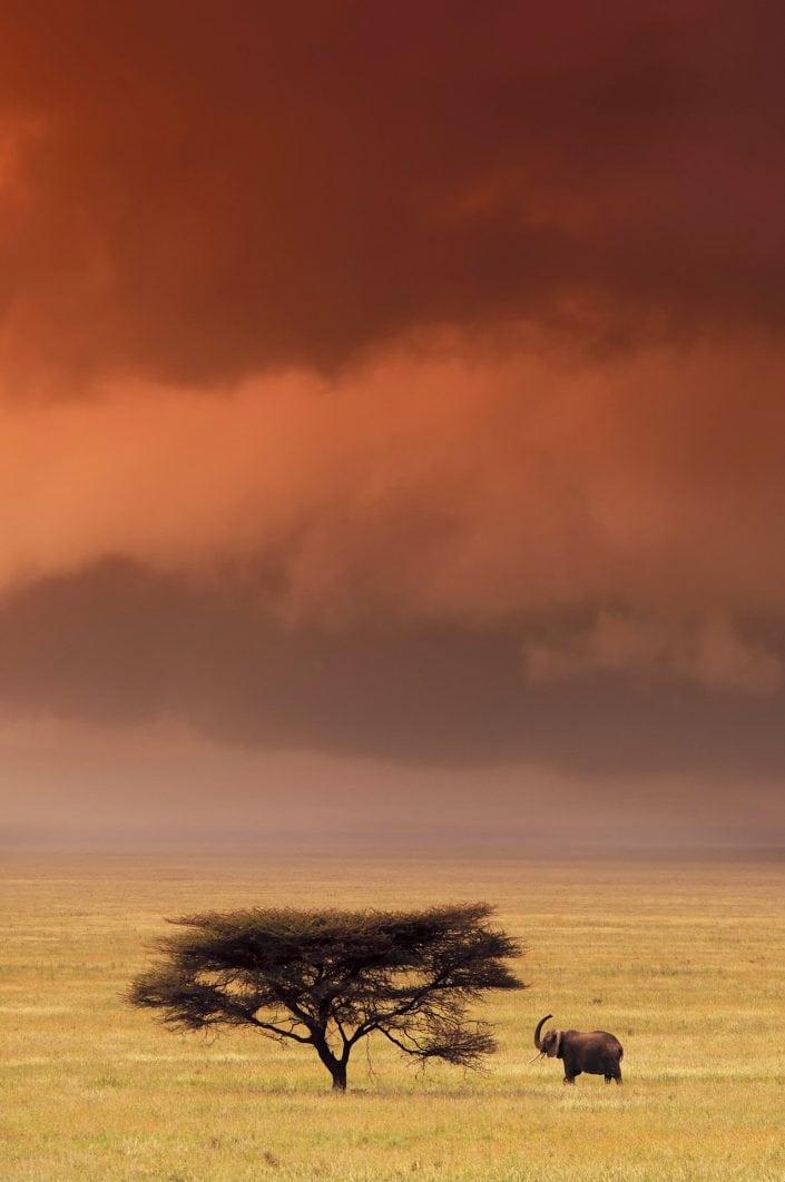 Serengeti Elephant - An African wildlife print by master photographer Greg du Toit.