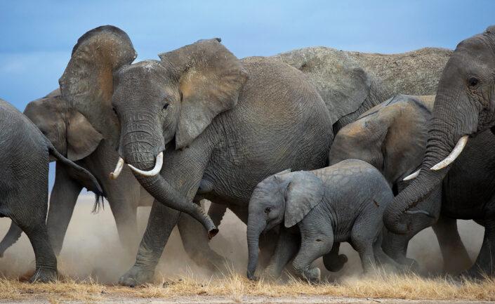 best amboseli photo safari - a herd of elephants on the move