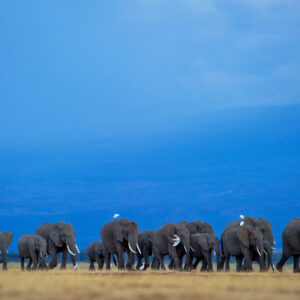 Elephants and Egrets - fine art wildlife prints by African wildlife photographer Greg du Toit.
