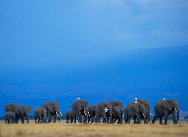 animals in their environment - Elephants and Egrets