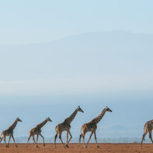 Giraffe Journey - Wide angle wildlife photography by African wildlife photographer Greg du Toit.
