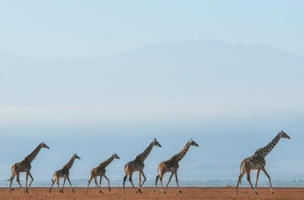 animal-scape - Giraffe Journey