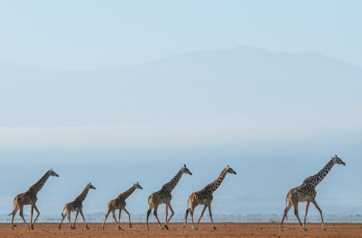 Giraffe Journey - Wide angle wildlife photography by African wildlife photographer Greg du Toit.