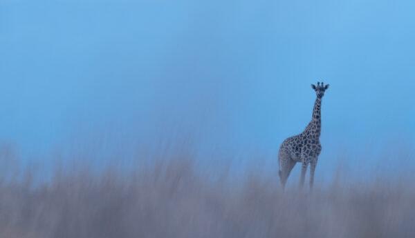 Lone Giraffe - creative wildlife photography