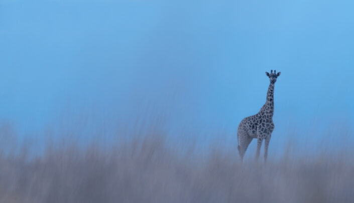 Lone Giraffe - creative wildlife photography