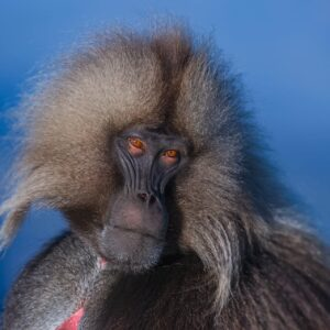 Portrait of a Gelada - Wildlife portraits by famous African wildlife photographer Greg du Toit.