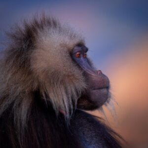 Gelada King - Wildlife portrait prints by famous African wildlife photographer Greg du Toit.