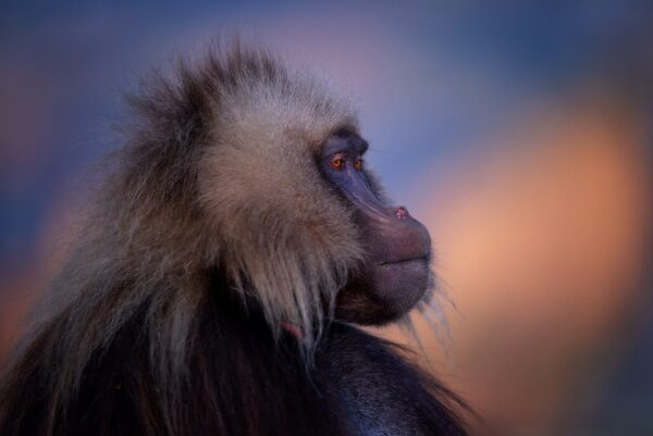 wildlife portrait photo - Gelada King