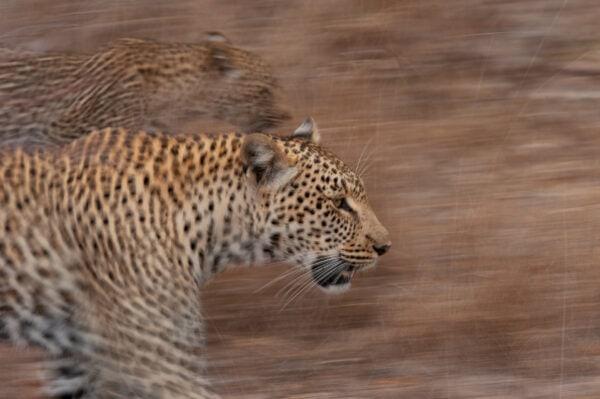 leopard motion blur