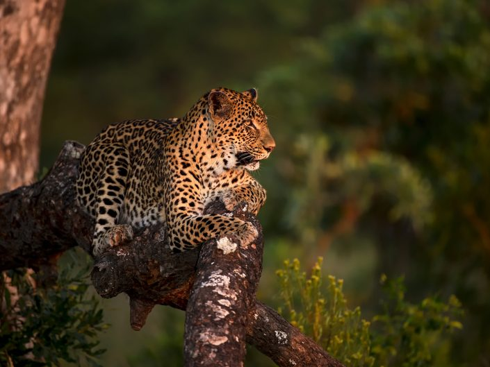 Leopards of Londolozi Workshop
