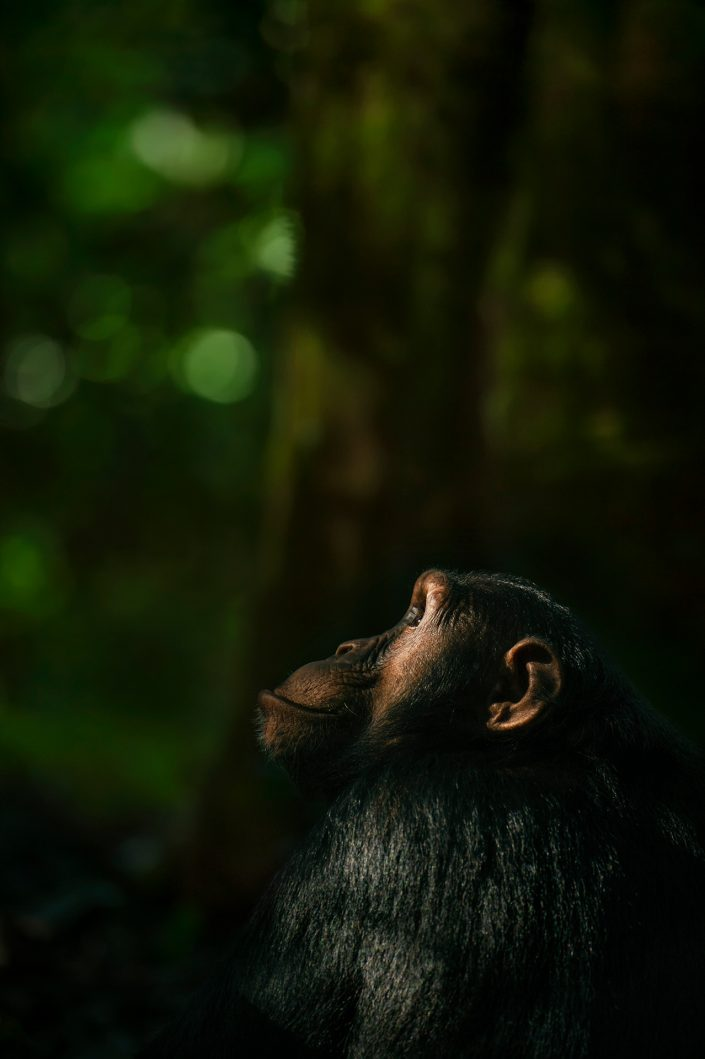 A Moment of Contemplation - wildlife portrait print by award winning African wildlife photographer Greg du Toit.