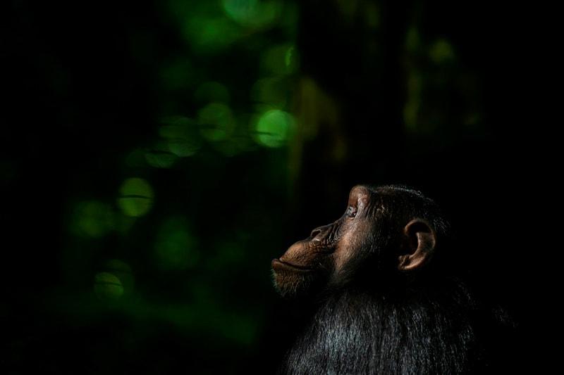 great ape photo safari - chimpanzee