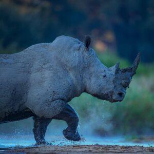 Rhino River - African wildlife print by award winning African wildlife photographer Greg du Toit.
