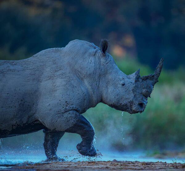 wildlife portrait prints - Rhino River