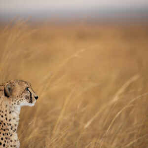 Cheetah Plain - This is an animal-scape photo from the Masai Mara reserve in Kenya.