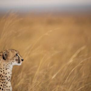 animal-scape - Cheetah Plain