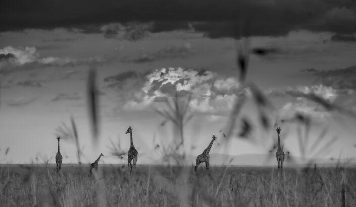 maasai mara photo safari - giraffe plains