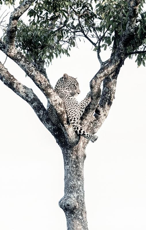 masai mara migration photo safari - leopard