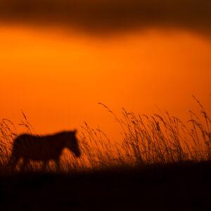 Zebra Plains - African wildlife fine art photography.