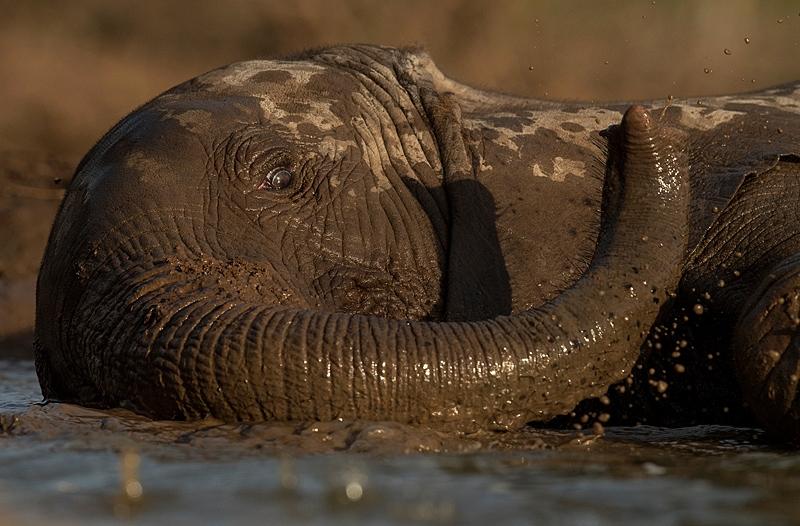 Mashatu photo safari - elephant swimming