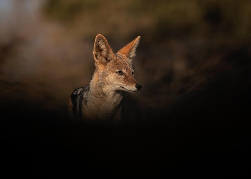 jackal photographed from an underground hide in Mashatu Game Reserve Botswana.