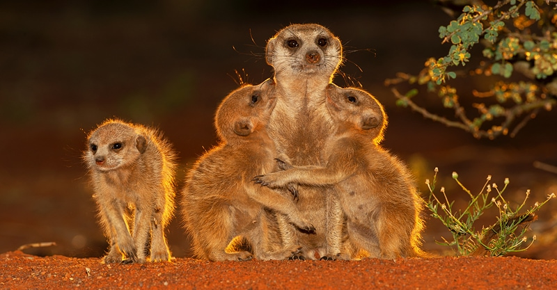 meerkat photo safari - a family of meerkats in the golden sunlight of the Kalahari desert