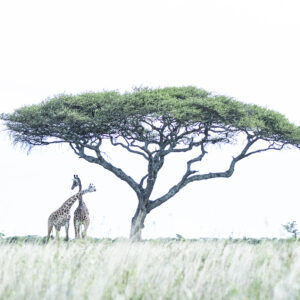 Giraffes Beneath the Acacia (2) - high key wildlife photo