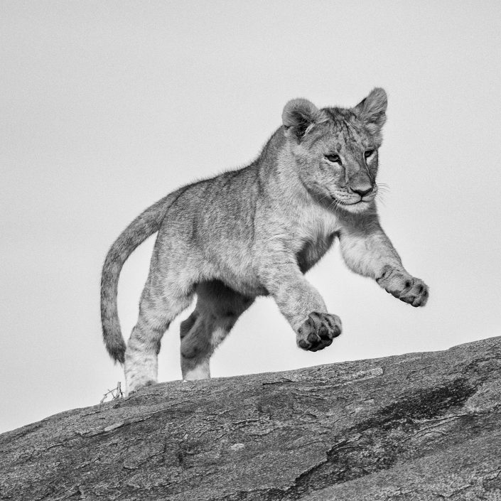 serengeti small group photo tours, lion cub leaping