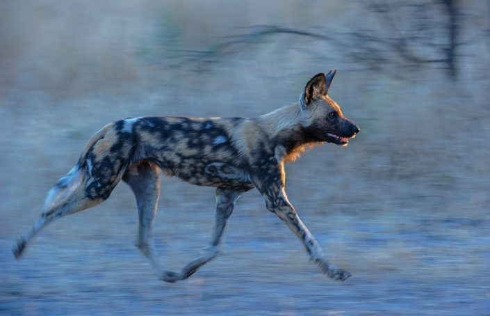 A painted wolf (wild dog) runs at dawn - photographed on a Botswana photography tour, by African wildlife photographer Greg du Toit.