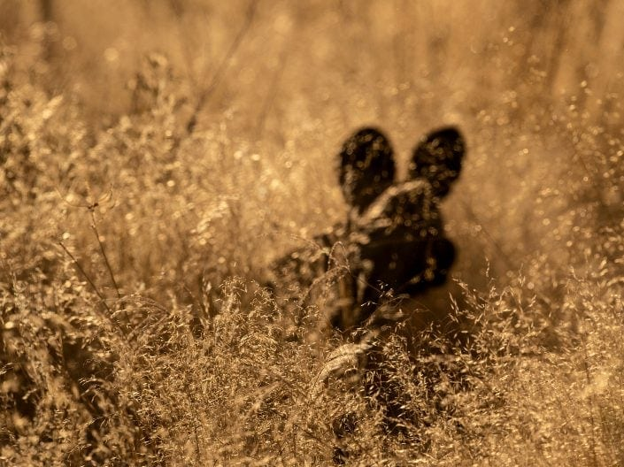 An abstract photo of a wild dog - photographed on a Botswana photo tour, by African wildlife photographer Greg du Toit.