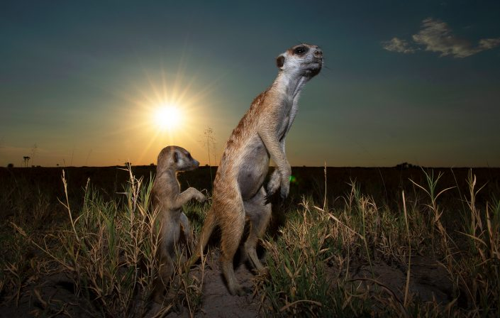 Meerkat and pup at subset - photographed on the Salt Pan extension in Botswana, by African wildlife photographer Greg du Toit.