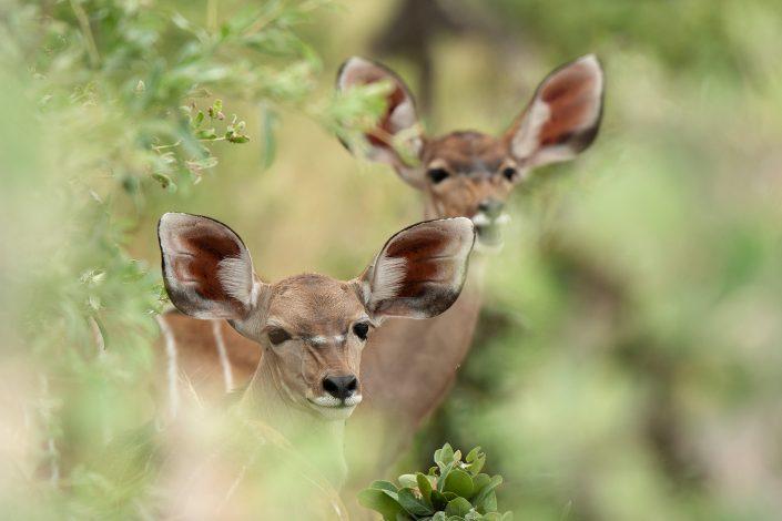 Kudu antelope - photographed on a Botswana photo safari, by African wildlife photographer Greg du Toit.