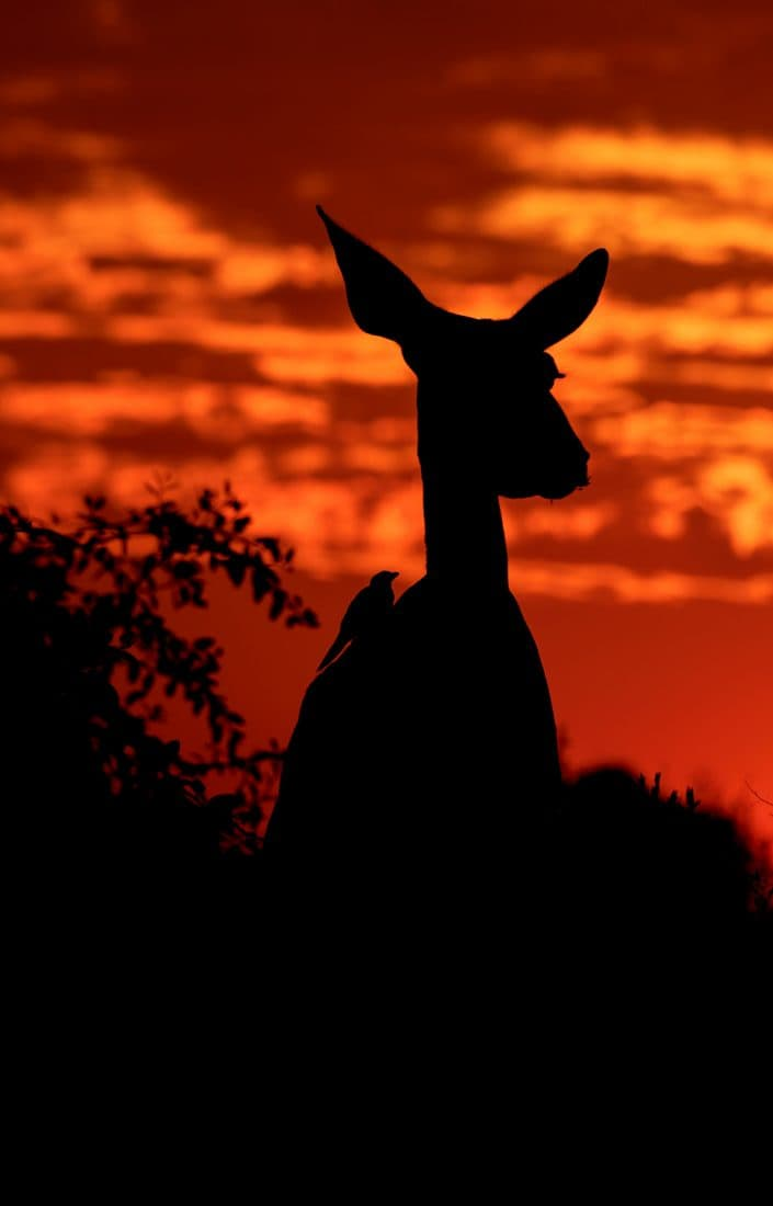 A kudu and oxpecker silhouetted - photographed on a Botswana photography tour, by African wildlife photographer Greg du Toit.