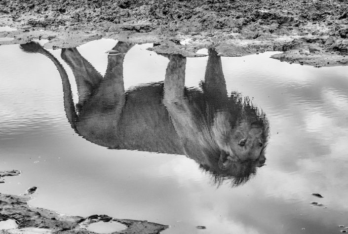 A lion's reflection - photographed by African wildlife photographer Greg du Toit.