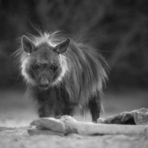 Strandwolf - wildlife print
