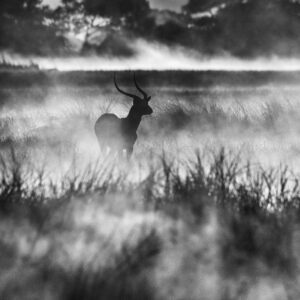 Lone Lechwe - black and white wildlife photography